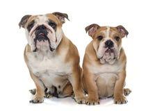 Dogo del inglés del adulto y del perrito Fotografía de archivo