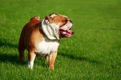 Dogo del inglés del perro de la raza fotos de archivo libres de regalías