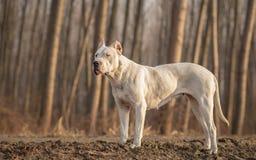 Dogo femminile Argentino fotografie stock libere da diritti