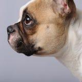Dogo francés (1 año) Imagen de archivo