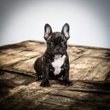 Dogo francés Fotos de archivo libres de regalías