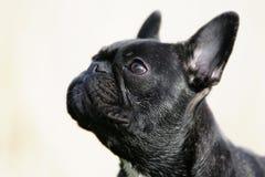 Dogo francés Imágenes de archivo libres de regalías