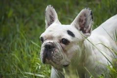 Dogo francés Foto de archivo libre de regalías