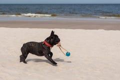 Dogo francés. Imágenes de archivo libres de regalías