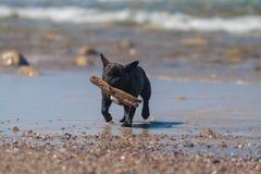 Dogo francés. Foto de archivo libre de regalías