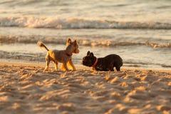 Dogo francés. Fotos de archivo