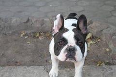 Dogo francés Fotografía de archivo