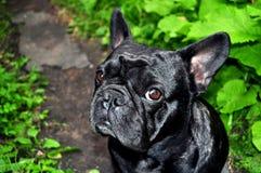 Dogo francés Fotografía de archivo libre de regalías