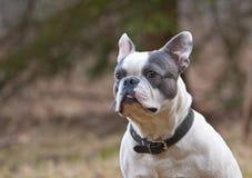 Dogo francés Fotos de archivo
