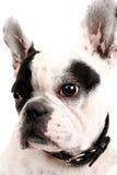 Dogo francés imagenes de archivo