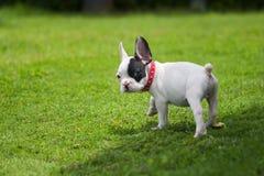 Dogo francés afuera Fotografía de archivo libre de regalías