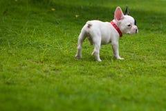 Dogo francés afuera Fotografía de archivo