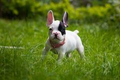 Dogo francés afuera Fotos de archivo