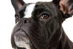 Dogo francés blanco y negro Imágenes de archivo libres de regalías