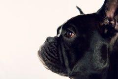 Dogo francés blanco y negro Imagen de archivo libre de regalías