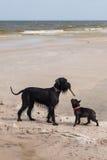 Dogo francés con el Schnauzer gigante. Imágenes de archivo libres de regalías