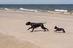 Dogo francés con el Schnauzer gigante. Fotografía de archivo