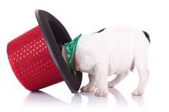 Dogo francés con el sombrero de la demostración Fotografía de archivo
