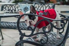 Dogo francés curioso Fotografía de archivo