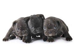 Dogo francés de los perritos imagenes de archivo