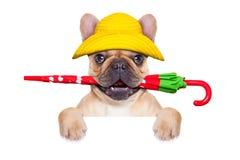 Dogo francés del cervatillo listo para un paseo Foto de archivo libre de regalías