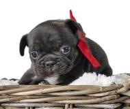 Dogo francés del perrito imagenes de archivo