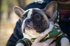 Dogo francés del perrito lindo que se sienta en manos Imágenes de archivo libres de regalías
