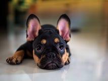Dogo francés del perrito que se acuesta a la mirada fotografía de archivo