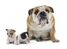 Dogo francés e inglés del perrito Fotos de archivo