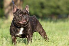 Dogo francés en campo Fotos de archivo