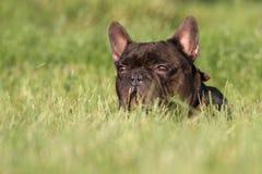 Dogo francés en campo Imagen de archivo libre de regalías