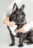 Dogo francés en el doctor Imágenes de archivo libres de regalías