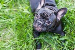 Dogo francés en la hierba Imagen de archivo libre de regalías