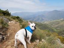 Dogo francés en la montaña Fotos de archivo libres de regalías