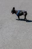 Dogo francés en los apoyos que se colocan en camino foto de archivo libre de regalías