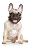 Dogo francés feliz Foto de archivo libre de regalías