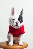 Dogo francés feliz Imagen de archivo libre de regalías