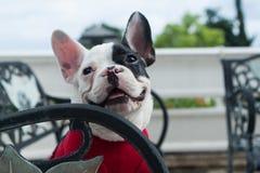 Dogo francés feliz Imagenes de archivo