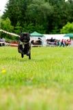 Dogo francés feliz que se ejecuta a través de hierba verde Imagen de archivo libre de regalías