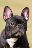 Dogo francés negro Fotos de archivo