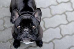 Dogo francés negro en el sendero/el Bouledogue/la República Checa imagen de archivo