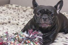 Dogo francés negro que mastica el juguete del perro Mentiras en el sofá Imágenes de archivo libres de regalías