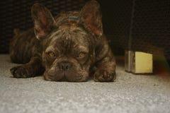 Dogo francés que descansa sobre el patio trasero imagen de archivo
