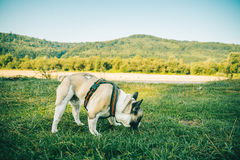Dogo francés que juega en hierba verde imágenes de archivo libres de regalías