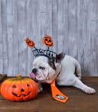 Dogo francés que lame una calabaza de Halloween Fotografía de archivo