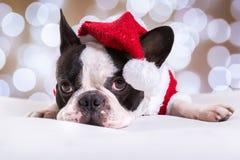 Dogo francés que presenta en equipo de la Navidad Fotos de archivo libres de regalías