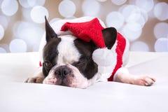 Dogo francés que presenta en equipo de la Navidad Imagen de archivo libre de regalías