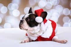 Dogo francés que presenta en equipo de la Navidad Fotografía de archivo libre de regalías