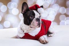 Dogo francés que presenta en equipo de la Navidad Fotografía de archivo
