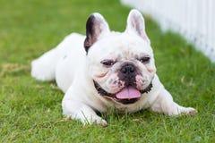 Dogo francés que sonríe en el jardín Imagen de archivo libre de regalías